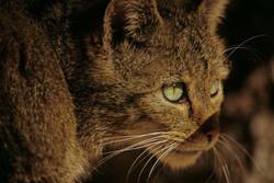 Wildkatzen in Deutschland
